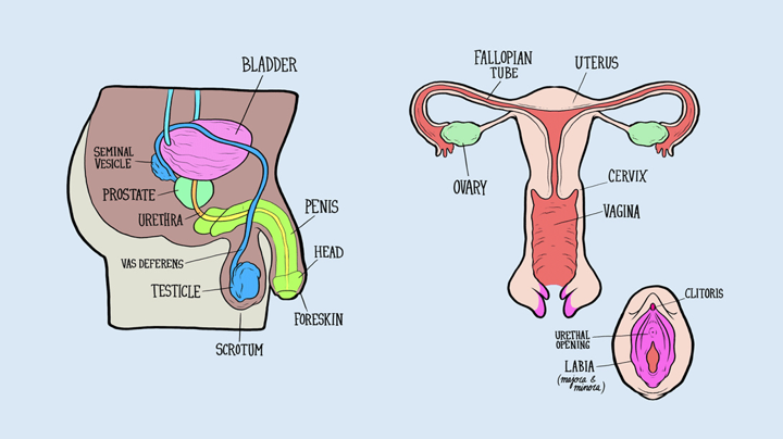 Male Reproductive Organs and their functions   love question life answer